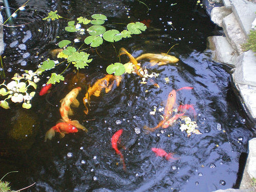 Landscape planning how to add an in ground water feature for In ground koi pond