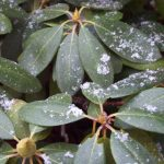 snow flurries on rhododendron leaves