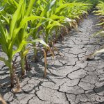 drought corn crop