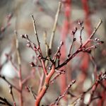 blueberry bush in winter