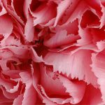 carnation color palette