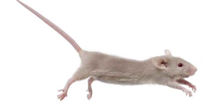 leaping mouse