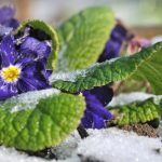 pansies flowers in winter frost