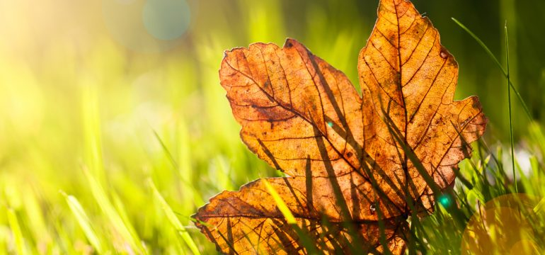autumn leaf in the grass