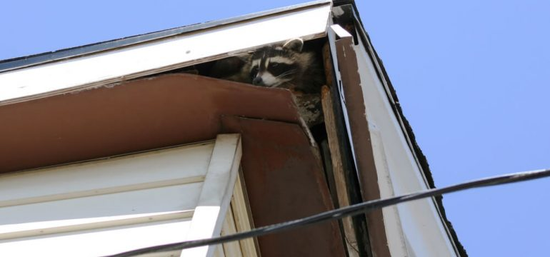 raccoon in the roof