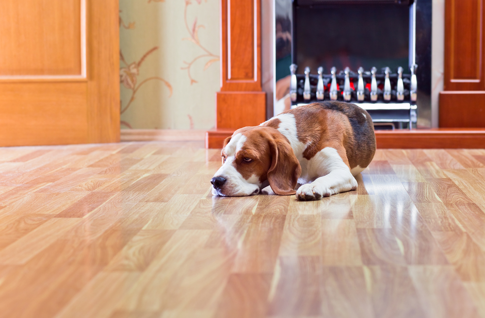 dog beagle on wood floor